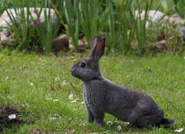 Schwarzer Hase auf der Wiese, Kaninchenstall kaufen