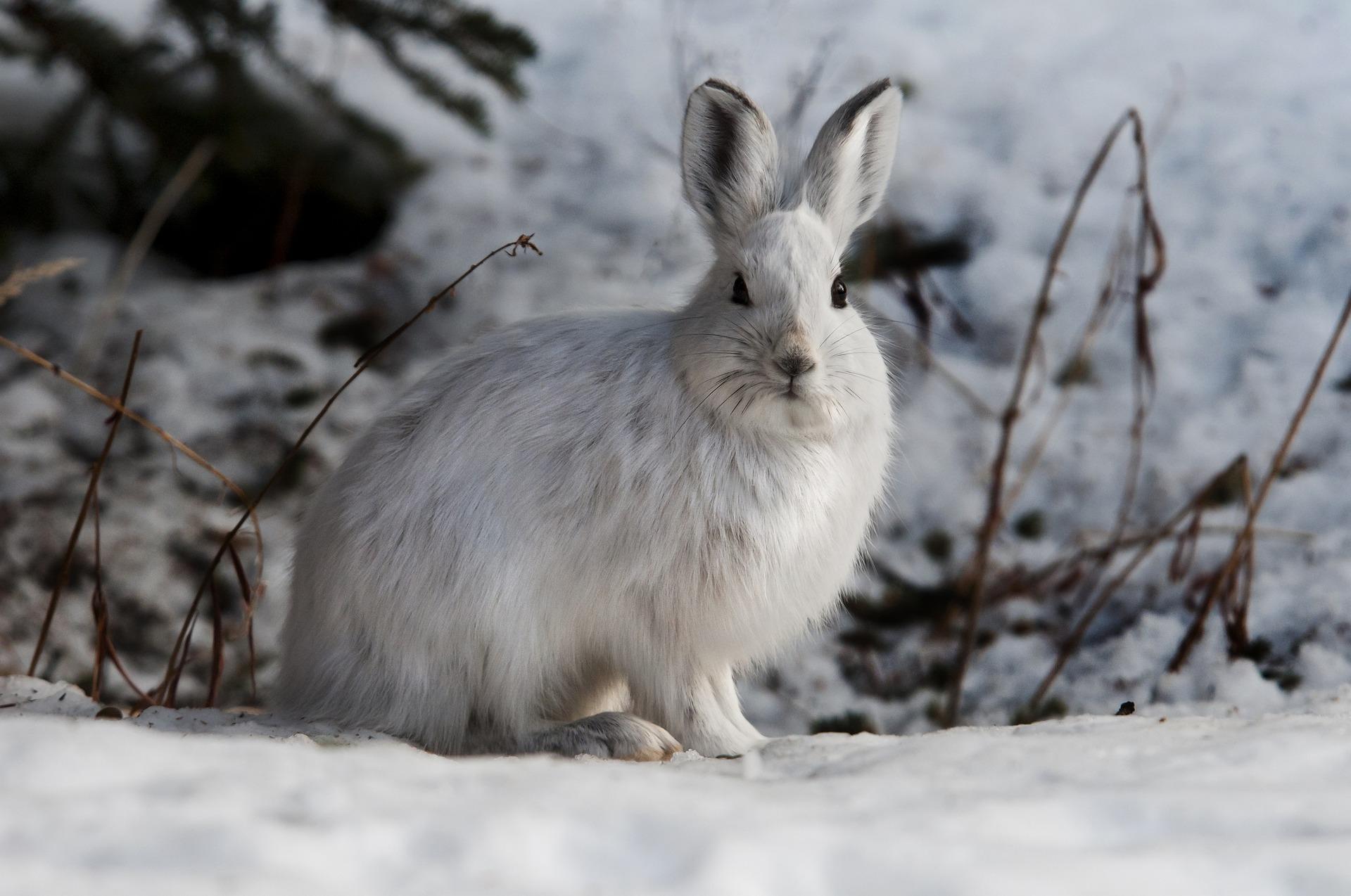 Hase im Schnee, Hasenstall winterfest machen